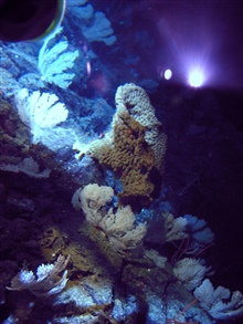 Large sponges and primnoid corals seen on the side of a seamount.