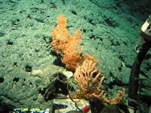A bamboo coral in the foreground, a black coral bush with orange polyps, and a large black sponge to the left of both corals.