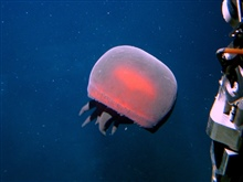 A large brownish red jellyfish similar to the Tiburonia granrojo jellyfish first described by scientists of the Monterey Bay Aquarium in 2003.