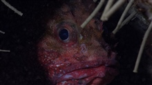 Deep sea fish - scorpionfish peering out from hole through tubeworms
