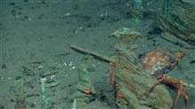 Artifact from Monterrey C shipwreck. A red crab (Chaceon quinquedens) securingitself to a wooden remnant.