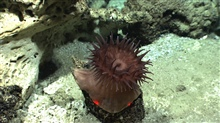 A large brownish anemone on a rock outcrop.
