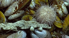 Closeup of cold seep mussels, a white urchin, and white snails.