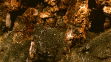 The surface of the sulphide chimney has started to oxidize to an orange color. A large scale-worm lurks to the left - it is a predator with large jaws.