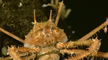 The exoskeleton of this majid crab living at 516 meters depth providessubstrate to many species of hydroids and barnacles.