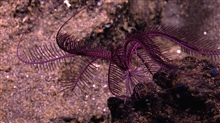A stunning purple Sea Lily filters the current for food.