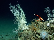Basket stars, crinoids, anemone, and crab on rock outcropping in Atwater Valleyregion in the Gulf of Mexico.