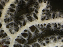 This segment of much larger image shows the eight tentacles that are diagnosticof an octocoral.  The tiny polyps are often damaged during collection.