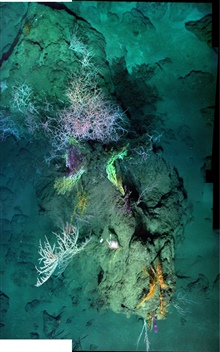 A down-looking mosaic of a coral community at 1400m depth, including avariety of hard and soft corals.