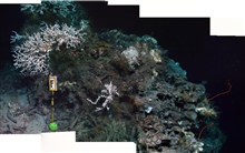 A forward looking mosaic of the coral community at Marker F at 550mdepth, including colonies of the white scleractinian coral Lophelia pertusa,whip corals and abundant crinoids and squat lobsters.