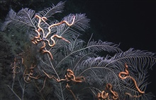 The gorgonian sea fan Callogorgia americana and symbiotic brittle stars from asite at approximately 350 meters depth in the Green Canyon area of the Gulf ofMexico.  In the bottom left of the image are some small brown anemones thathave colonized a po