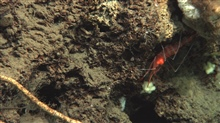 A red shrimp with white bands on a small overhang.