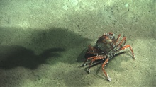 A red crab (Chaceon quinquedens) with numerous barnacles.