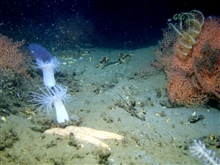 A large white sea star, orange octocorals, yellow crinoids, white anemomes, anda purple pyrosome in the left background.