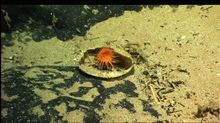A small orange anemone in what appears to be either a clam or scallop shell.