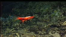 A large red shrimp swimming