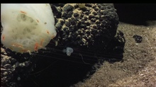 White sponge and cnidarian with fishing gear out.