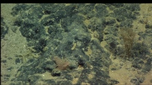 Brown holothurian (sea cucumber) on rock outcrop.  Circular pellets are possibly holothurian feces.