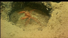 A red crab in a defensive position in an odd round hole in the rock outcrop.