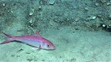 50-centimeter queen snapper resting on the seafloor.