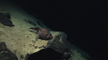 Goosefish (Sladenia shaefersi), on a rock surface.