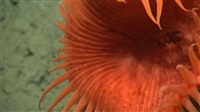 Closeup of the mouth and tentacles of a large orange venus flytrap anemone.