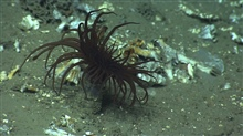 A brown cerianthid tube anemone.