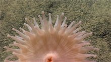 A pinkish white anemone looking somewhat like a rising sun.