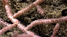 Bamboo coral with polyps extended.