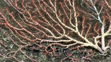 A large bamboo coral bush with polyps extended. It appears to be lying on thebottom in this image but is in fact growing vertically parallel to the canyonwall. See image expn2665.