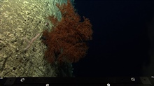 A large orange black coral bush with a smaller bamboo octoral in theforeground on a vertical wall.