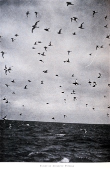 Flight of Antarctic Petrels. In:  The Heart of the Antarctic, Volume I, by E. H. Shackleton, 1909.  P. 65.Library Call Number G149 S52.