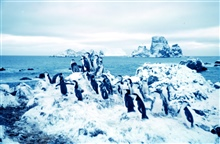 Adelie penguins at Cape Geddes, Laurie Island