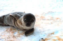 Ahhhh! What a cute baby!  Weddell seal pup.