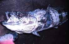A five-foot Antarctic cod.