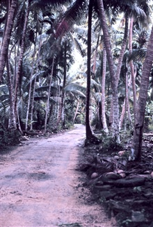 Palm lined main road on Yap