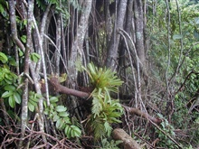 Prop roots and epiphytes in the jungle on Isla Cocos.