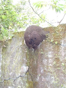 A termite mound built on a wall at the Isla Gorgona prison.