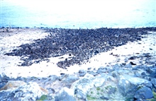 What appears to be a rock-strewn beach is in fact a fur-seal rookery.Thousands of fur-seals on a St. Paul beach