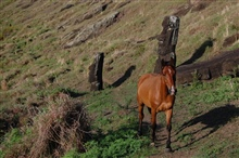 Horse following trail through the moai of the Rano Raraku quarry.