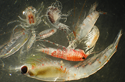 Small Crustaceans Larvae to Adult